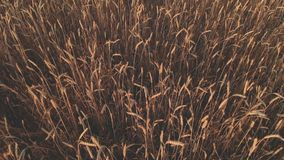 Il metraggio aereo della cima giù del giacimento di grano che mostra i raccolti di grano dorati mobili lentamente dal grano del v video d archivio