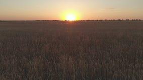 Il metraggio di vista aerea del giacimento di grano che mostra i raccolti di grano dorati sul tramonto mobili lentamente dal gran video d archivio