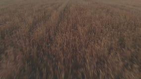 Il metraggio di vista aerea del giacimento di grano che mostra i raccolti di grano dorati sulla mosca della velocità rivelando il archivi video