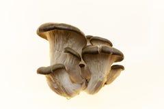 Il micelio, un mazzo di funghi di shiitake freschi su fondo bianco Funghi di ostrica su un fondo bianco Mazzo maturo di mushr Immagini Stock