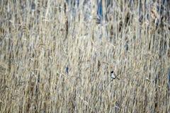 Il migliarino di palude comune si siede su una paglia a lamella fotografia stock libera da diritti