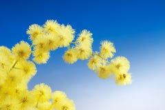 Il Mimosa fiorisce il cloose in su Fotografie Stock Libere da Diritti
