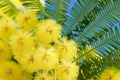 Il Mimosa fiorisce il cloose in su Fotografia Stock