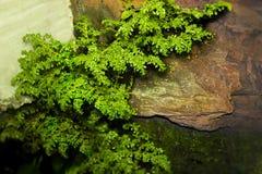 Il mini albero di Fresify su una parete di pietra fotografia stock libera da diritti