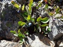 Il minimo coltiva i mirtilli alpini Fotografia Stock Libera da Diritti