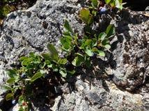Il minimo coltiva i mirtilli alpini Fotografia Stock