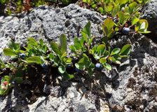 Il minimo coltiva i mirtilli alpini Immagine Stock Libera da Diritti
