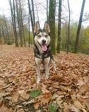 Il mio aggeggio del cane del husky Fotografia Stock