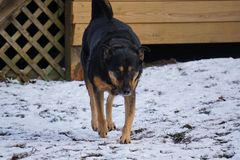 Il mio Big Boy Guard Dog, Ducky Fotografie Stock