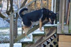 Il mio Big Boy Guard Dog, Ducky Fotografia Stock Libera da Diritti