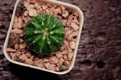 Il mio cactus Fotografia Stock