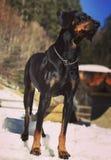 il mio cane felice su neve Fotografie Stock