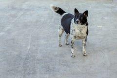 Il mio cane, Tiddu immagine stock