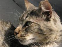 Il mio gatto amoroso che guarda il gatto ferral lontano del somehere, gatto astuto Fotografia Stock