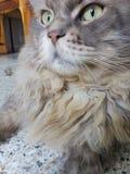 Il mio gatto di procione lavatore Immagini Stock