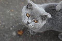 Il mio gatto grigio Fotografie Stock Libere da Diritti