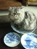 Il mio gatto impertinente di Persia Fotografia Stock