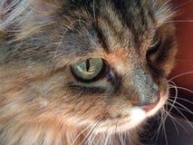 Il mio gatto siberiano favorito della famiglia Fotografie Stock Libere da Diritti