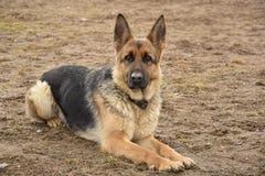 Il mio pastore tedesco favorito che custodice la sua casa fotografia stock