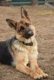 Il mio pastore tedesco favorito che custodice la sua casa fotografie stock