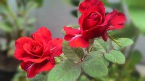 Il mio petalo di rose Fotografia Stock