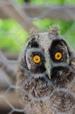 Il mio piccolo bambino OWL Pet! Fotografia Stock