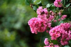 Il mirto di crêpe rosa fiorisce il primo piano Immagine Stock Libera da Diritti