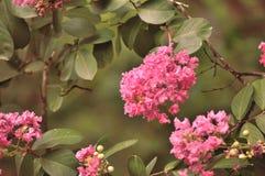 Il mirto di crêpe rosa fiorisce il primo piano, sbiadito Fotografia Stock Libera da Diritti