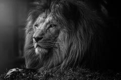 Il mistero del leone fotografie stock