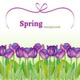 Il modello con la molla fiorisce (tulipani) con struttura dell'acquerello su un fondo bianco Fotografia Stock