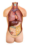 Il modello d'annata dell'anatomia con gli organi ha visualizzato isolato su bianco Fotografia Stock Libera da Diritti