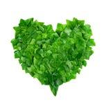 Il modello naturale dall'edera lascia nella forma del cuore su fondo bianco Concetto di protezione di natura Fotografia Stock Libera da Diritti