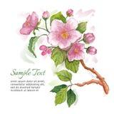 Il modello per la cartolina d'auguri con la mela dell'acquerello sboccia Immagine Stock