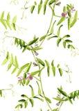 Il modello senza cuciture dell'acquerello del vicia cracca fiorisce su fondo bianco Fotografia Stock Libera da Diritti
