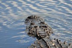 Il modo dell'alligatore Fotografia Stock