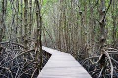 Il modo della passeggiata nella foresta della mangrovia, l'altro nome è inter foresta di marea Fotografia Stock