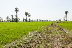 Il modo nell'azienda agricola del riso Immagine Stock