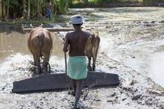 Il momento dell'agricoltore che gira il bufalo mentre usando per arare la terra per la nuova preparazione del raccolto Immagine Stock