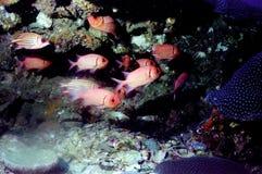 Il mondo sorprendente dei coralli del mare 37 di Andaman immagini stock