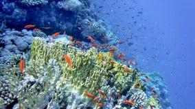 Il mondo subacqueo del Mar Rosso, i coralli, il pesce rosso ed altro pescano, contro lo sfondo della profondità del mare vicino a immagini stock