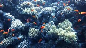 Il mondo subacqueo del Mar Rosso, i coralli, il pesce rosso ed altro pescano, contro lo sfondo della profondità del mare vicino a fotografie stock