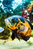 Il mondo subacqueo Pesce tropicale esotico luminoso Fotografia Stock Libera da Diritti