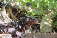 Il monitor dell'attività dell'acqua o i varani è vivere degli anfibi e dei rettili fotografia stock libera da diritti