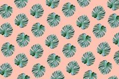 Il monstera tropicale reale lascia la progettazione del modello su colore pastello fotografia stock