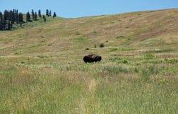 Il Montana in cui il bufalo vaga Fotografia Stock