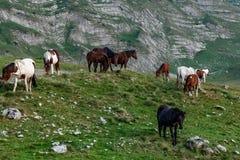 Il Montenegro, sosta nazionale di Durmitor Cavalli che pascono in un prato verde, giorno di estate soleggiato fotografia stock