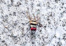 Il moscone azzurro della carne vola Fotografia Stock