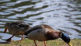 Il moto di nuoto dell'anatra e gli alimenti di individuazione si avvicinano al lago stock footage