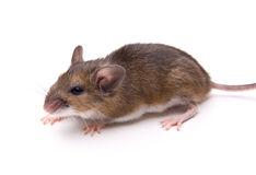 Il mouse Bianco-Pagato ha isolato Immagini Stock