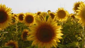 Il movimento, fiori del girasole si sviluppa sul campo, ondeggiamento nel vento stock footage